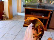 zwei kronengecko Männchen kern gesund