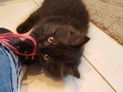 BKH Kätzchen Britisch Kurzhaar abzugeben