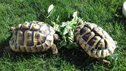 Griechische Landschildkröten -Testudo hermanni- Weibchen
