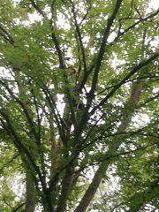 Baumpflege-Arbeiten Totholzentfernung vom Baumkletter-Profi