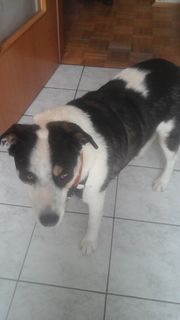 Hundemischling Rüde