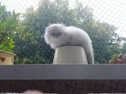 Kitten Tabby und Fold kurz
