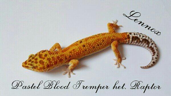 adulte Leopardgeckos abzugeben männlich und