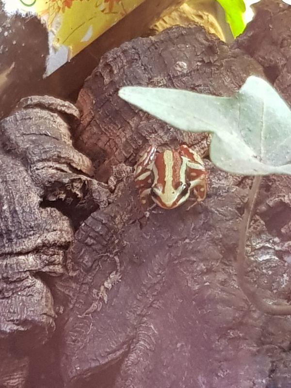 Epipedobates Anthonyi tricolor Pfeilgiftfrosch
