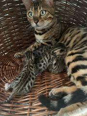 Bengal Kitten Reservieren