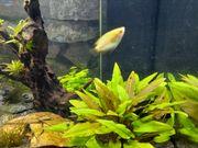Honigguramis Faden- Labyrinthfisch