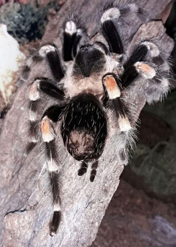0.1 Brachypelma hamorii - Ex B. smithi - Rotknievogelspinne - Vogelspinne