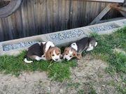Wunderschöne Beaglewelpen suchen Zuhause auf