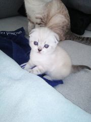 Bkh Scottish Fold Kitten Babys