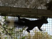 Eichhörnchen 2 Böcke