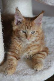 Maine Coon Kitten können ausziehen