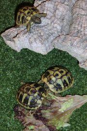 Griechische Landschildkrötenbabies aus meiner Nachzucht