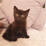 Noch eine weibliche Bkh Katze