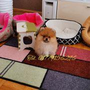 Pomeranian Zwergspitz Welpe Boo Teddy