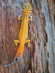 Leopardgecko Afghan Tangerine NZ21 0