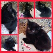 Wunderschöne Baby Katze Kitten Molli