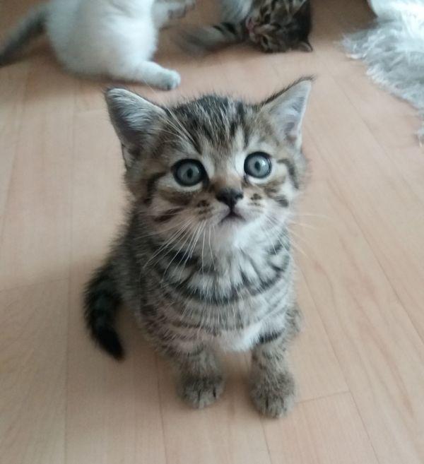 2 SÜßE BKH Kitten Mix