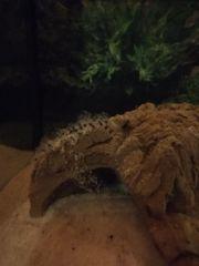 Axolotleier Axolotljungtiere Axolotl Nachzucht