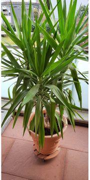 Wunderschöne Yucca-Palme ohne Übertopf