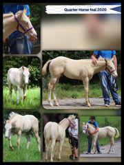 Quarter Horse Hengstfohlen