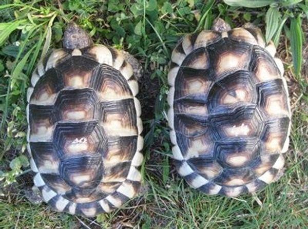 Breitrandschildkröten NZ 14 und 15