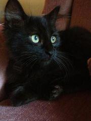 Kätzchen in schwarz abzugeben