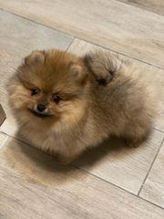 Pomeranian zwergspiz Mädchen