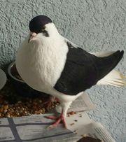 Bensheim Taube zugeflogen