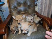 Süße Chihuahua-Malteser-Mix-Welpen abzugeben