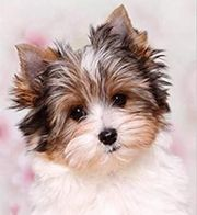 Yorkshire Terrier Biewer Welpe