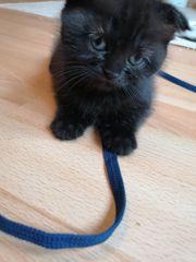 Wunderschöne Highland Fold Kitten