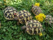 Griechische Landschildkröten Nachzucht 2018 ohne