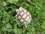 Landschildkröten Spornschildkröten Riesenschildkröten