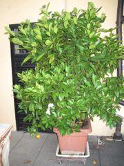 wunderschöner Mandarinenbaum sehr sehr groß
