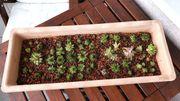 Sukkulenten im Teracotta Blumenkübel inkl