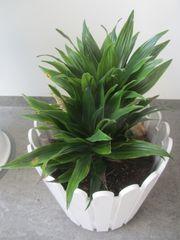 Zimmerpflanzen Gummibaum Begonie Yucca Bogenhanf