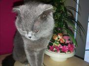 Bkh Katze weiblich
