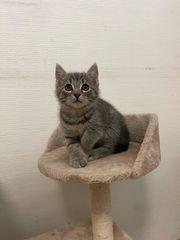 Graues kleines Kätzchenduo Kitten abzugeben
