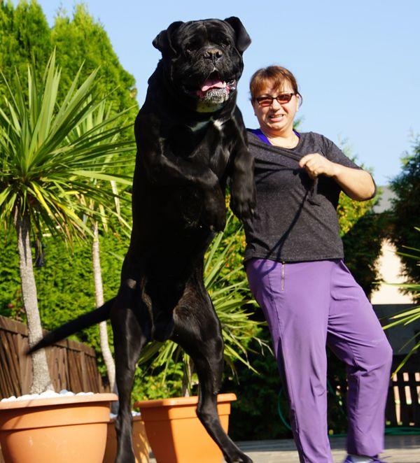 Familie freundlicher Schutz- und Wachhund