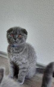 scottish fold kitten abholbereit