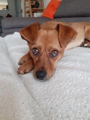 CINDY - Reh-Hund-Mischlingsmädchen sucht ihre Menschen