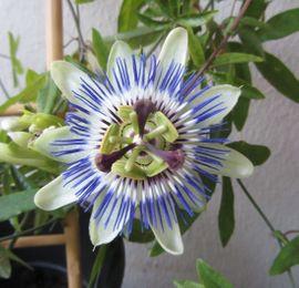Pflanzen - Zimmerpflanze - Passionsblume