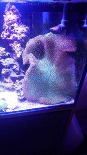 Meerwasser pilzlederkoralle