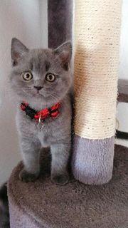Traumhafte reinrassige BKH-Kitten