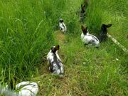 Kaninchen Hasen Deutsche Riesenschecken