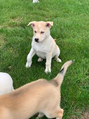 Husky Welpen 12 Wochen alt