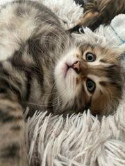 Wunderschöne reinrassige Sibirische Kitten