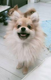 Pomeranian Welpe Rüde