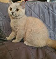 Reinrassiges BKH Kitten