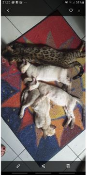 Bengal - Kitten